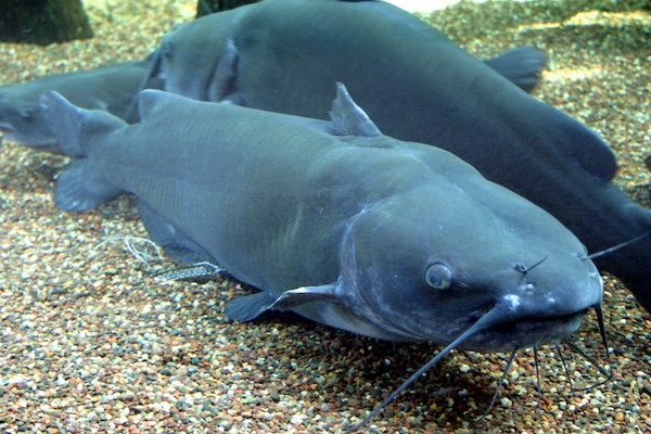 Ictalurus punctatus (Channel) Catfish